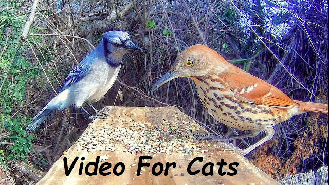Video For Cats To Watch - Backyard Birds!