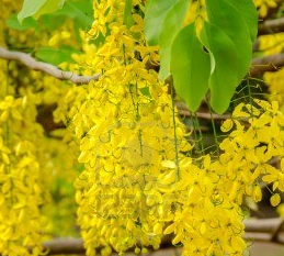 Bunga Nasional Thailand