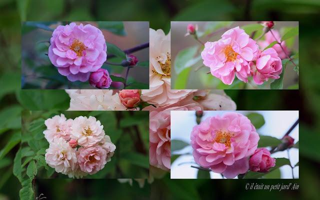 rosier cornélia remontant