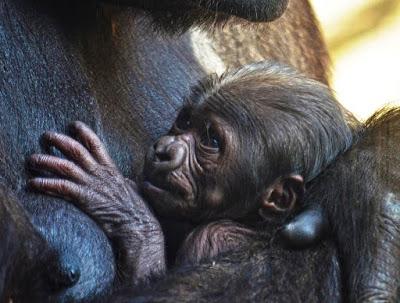 La gorila Ali y su bebé