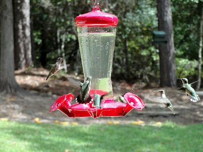 Humming Birds around a feeder.  Photo by Sheri.