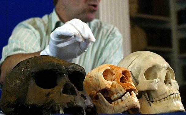 Una comparación entre diferentes cráneos muestra la evidente diferencia entre especies.