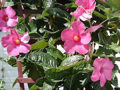 jual tanaman rambat | Allamanda sp