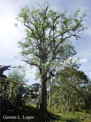 Sauco Sambucus australis
