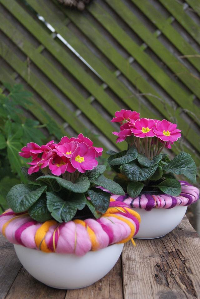 Pinkfarbene Primeln mit rosa Wollmanschette