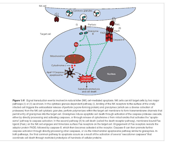"""Signal transduction events involved in natural killer (NK) cell‐mediated apoptosis. NK cells can kill target cells by two major pathways (I) or (II) as shown. In the cytotoxic granule‐dependent pathway (I), binding of the NK receptors to the surface of the virally infected cell triggers the extracellular release of perforin (a pore‐forming protein) and granzymes (which are a diverse collection of proteases) from the NK cell cytotoxic granules; perforin polymerizes within the target cell membrane to form transmembrane channels that permit entry of granzymes into the target cell. Granzymes induce apoptotic cell death through activation of the caspase protease cascade, either by directly processing and activating caspases, or through release of cytochrome c from mitochondria that activates the """"apoptosome"""" pathway to caspase activation. In the second pathway (II) to cell death (called the death receptor pathway), membrane‐bound Fas ligand (FasL) on the NK cell engages and trimerizes surface Fas receptors on the target cell. Engagement of Fas receptors recruits the adaptor protein FADD, followed by caspase‐8, which then becomes activated at the receptor. Caspase‐8 can then promote further caspase activation through directly processing other caspases, or via the mitochondrial apoptosome pathway similar to granzymes. In both pathways, the final common pathway to apoptosis occurs as a result of the activation of several """"executioner caspases"""" that coordinate cell death through restricted proteolysis of hundreds of cellular proteins."""