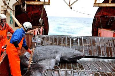 pembantaian hiu