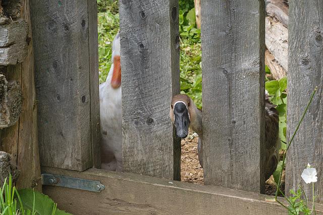Un canard à l'extérieur