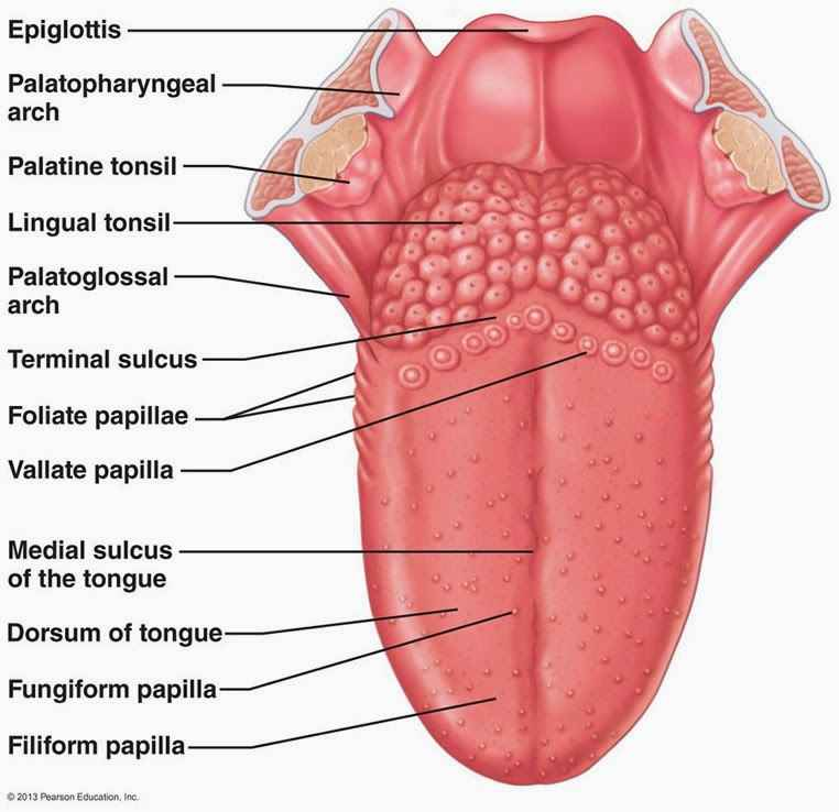 tongue anatomy human with label coordstudenti : tongue anatomy diagram - findchart.co