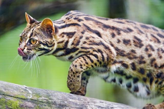 Mengenal Kucing Leopard