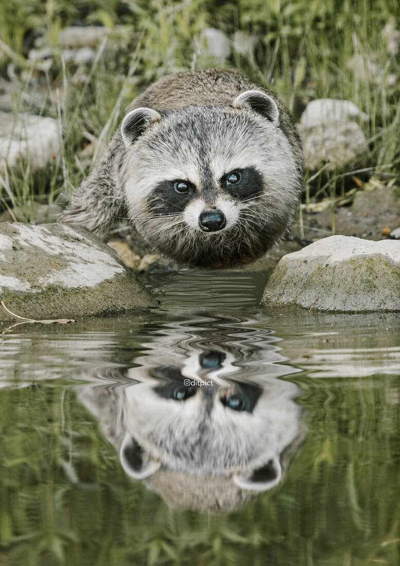 02-Raccoon-Aditya-Aryanto-Surreal-Animals-Ball-Photo-Manipulations-www-designstack-co