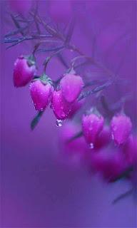 Flores color rosa púrpura fondos wallpaper para teléfono móvil resolución 480x800