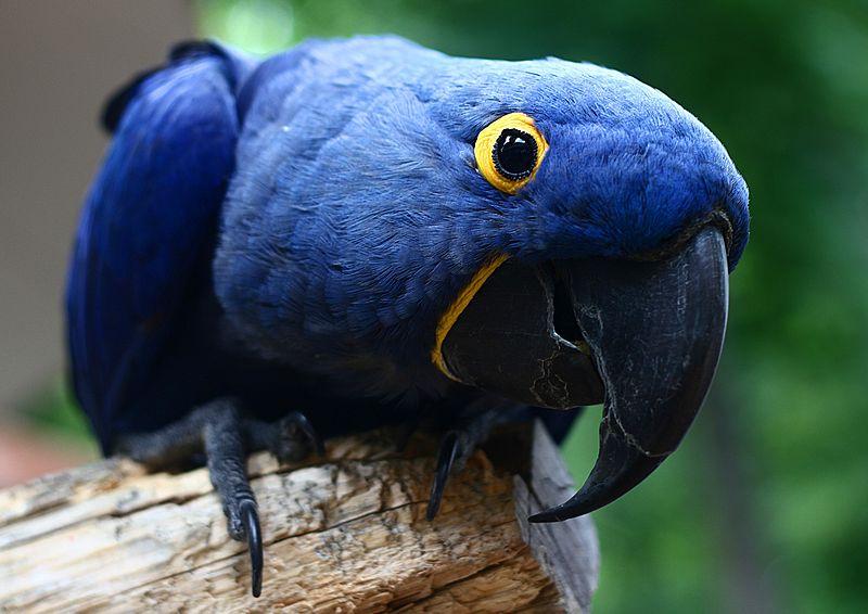 watching birds: Hyacinth Macaw Parrot