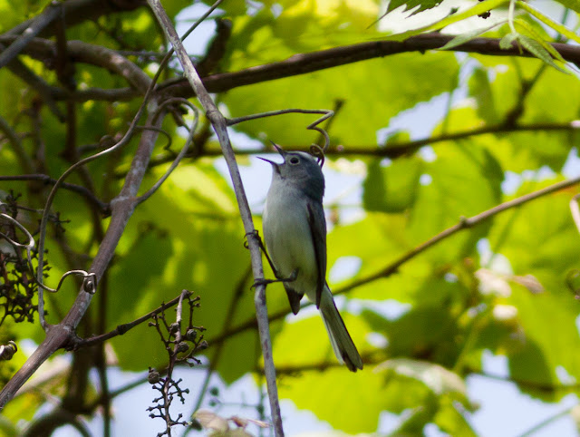 Blue-gray Gnatcatcher - Doodletown, New York
