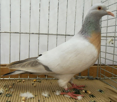 utility pigeons - pigeon breed