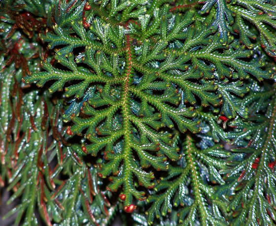Selaginella erythropus frond