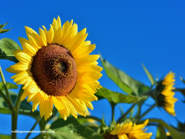 Tips on Growing Sunflowers from Walking on Sunshine