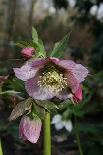 Black Hellebore/Christmas Rose (Helleborus niger)