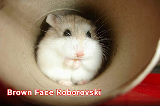 Mengenal Hamster Roborovski