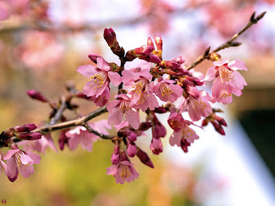 Higan-zakura (early-flowering cherry) flowers: Kencho-ji