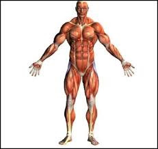 Muscles,muscular system
