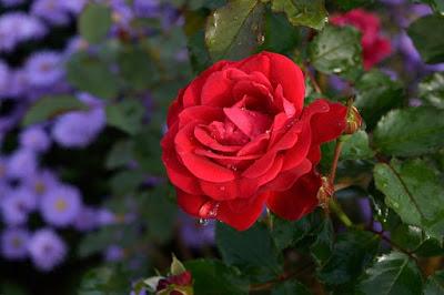 Kkao kombinovati boje ruza u vrtu