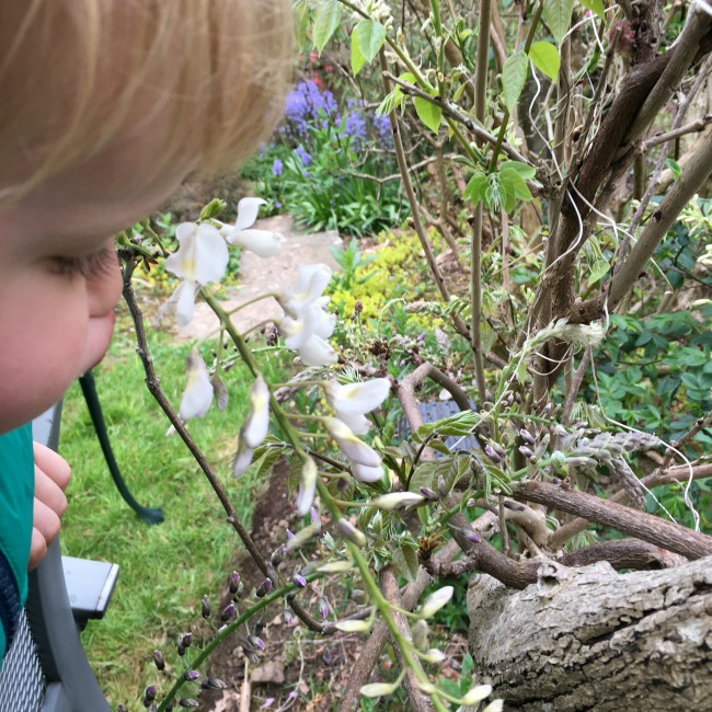 Knights, Nights, Nice. toddler smelling wisteria