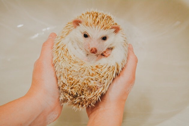 bathing a hedgehog