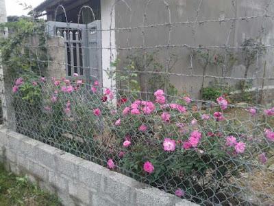 cây hoa hồng quế kép làm cây công trình đẹp