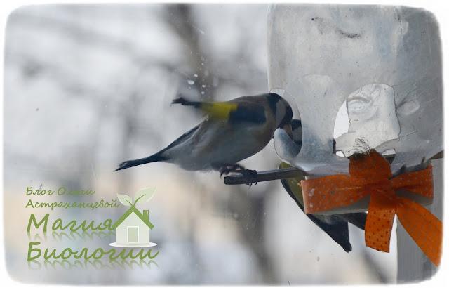 наблюдение-птиц-на-кормушках-магия-биологии-щегол