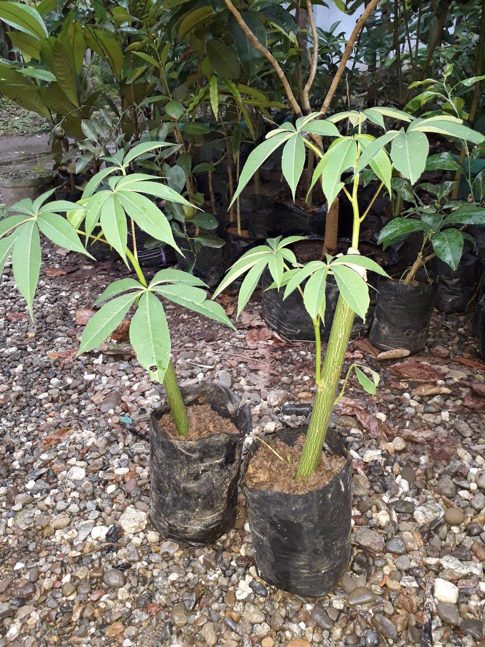 Jual Benih / Biji Pohon Kapuk Klenteng