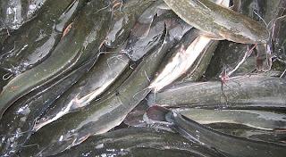 panduan cara praktis pedoman budidaya ikan lele kolam semen kolam terpal kolam tanah viterna poc nasa hormonik ton natural nusantara distributor nasa