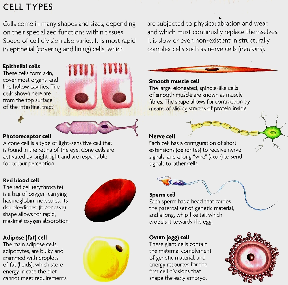 two main types of cells in nervous system biology essay Overview of the nervous system and brain,  biology of the nervous system   nerve cells consist of a large cell body and two types of nerve fibers.