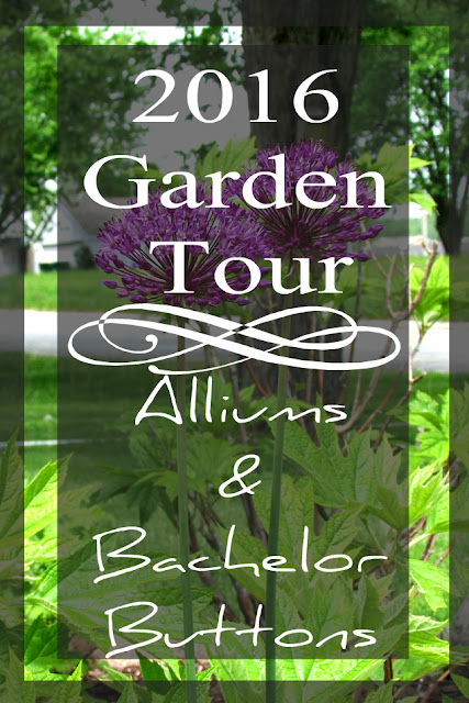 2016 Early Spring Garden Tour showcasing Bachelor Button Flowers and Allium Bulbs in perfect bloom.