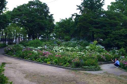 Hydrangeas in Chayagasaka Park.