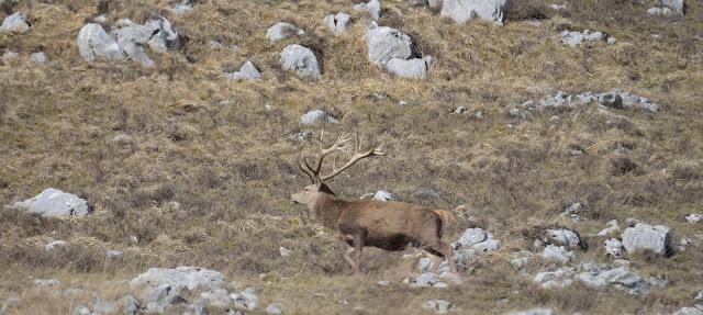 cervo-parco-abruzzo