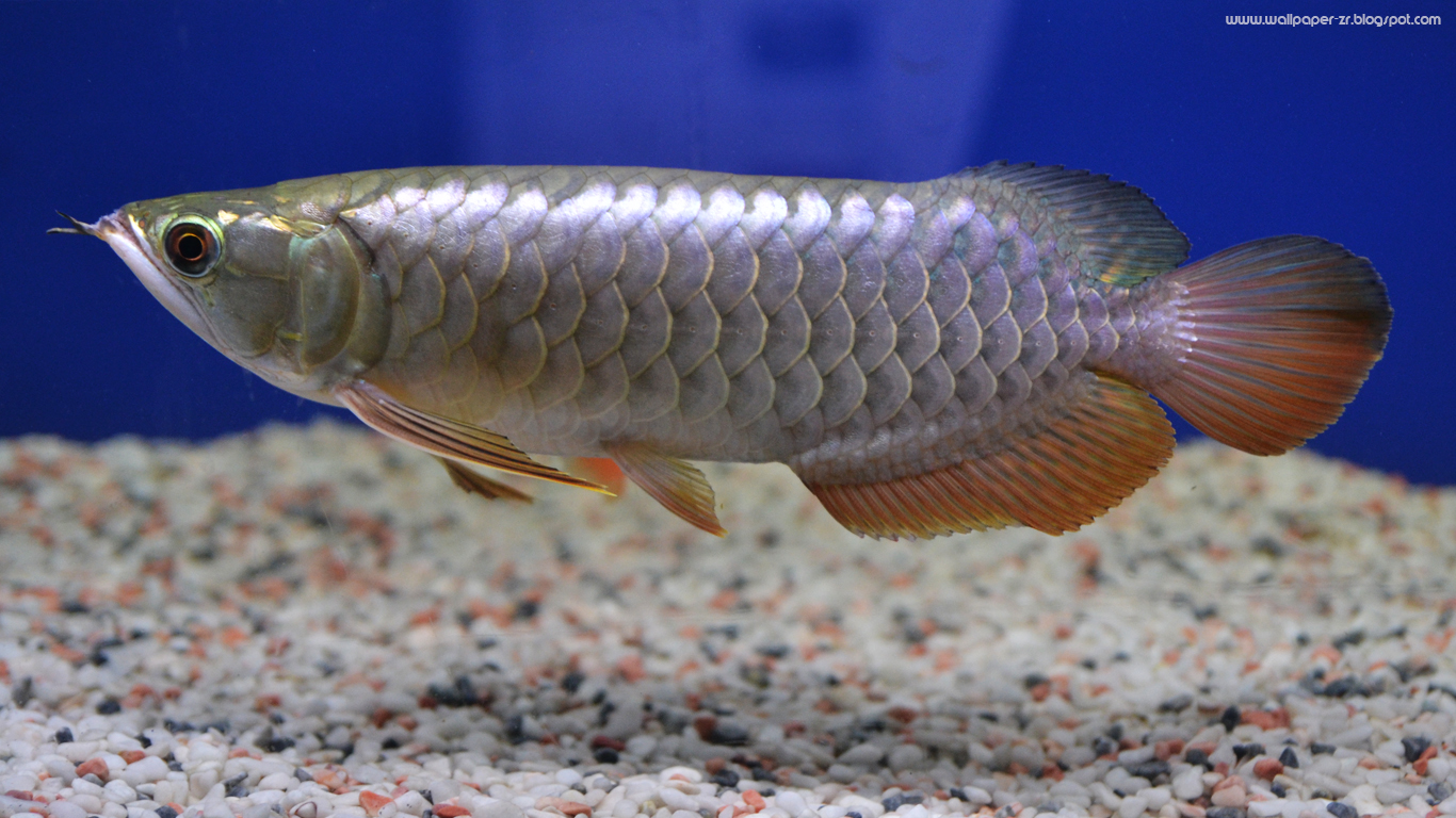 Arowana golden crossback baby wallpaper | wallpaper by ...