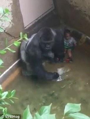 Anak Kecil Masuk Kandang Gorilla