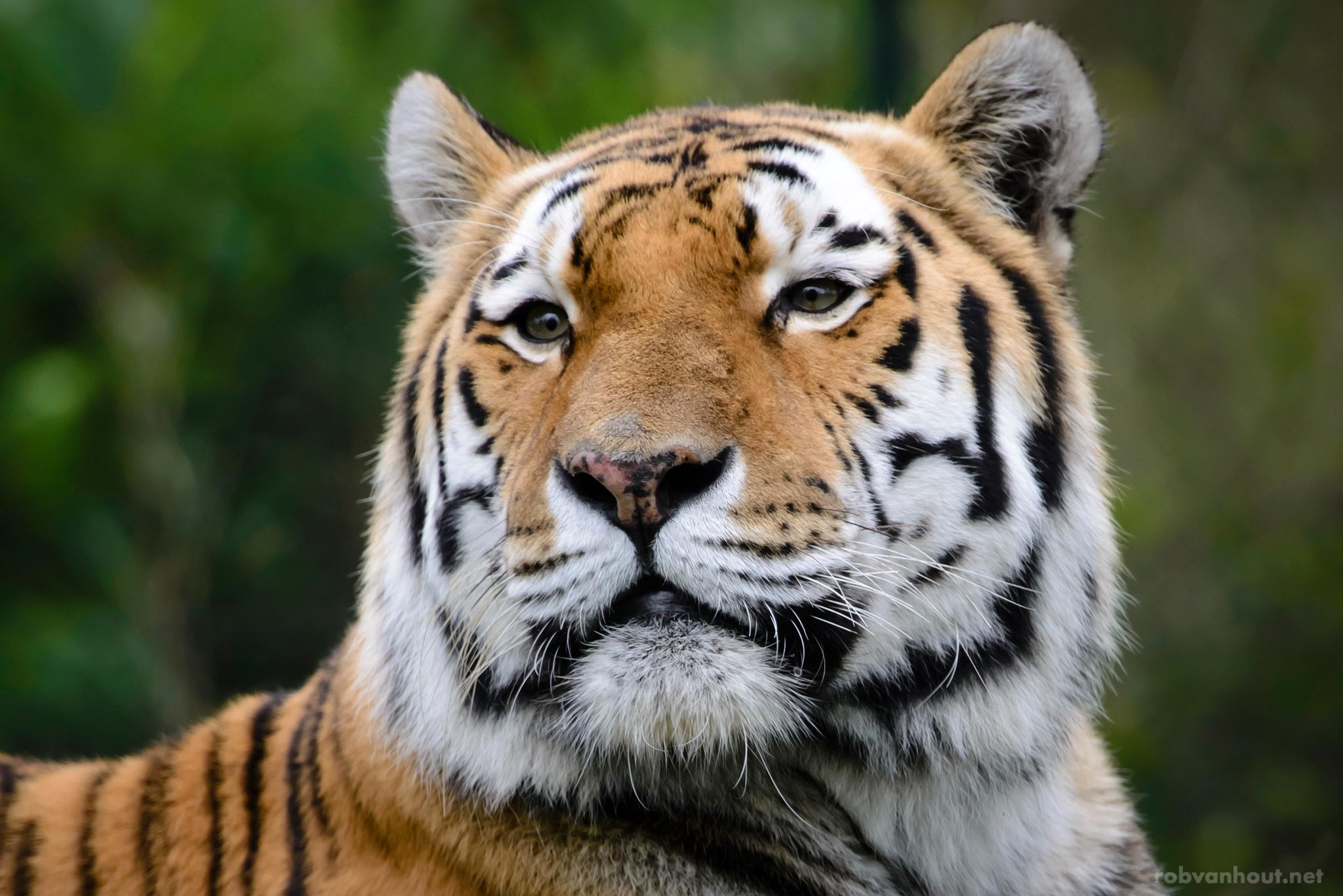 Siberian Tiger — Dierenrijk Zoo