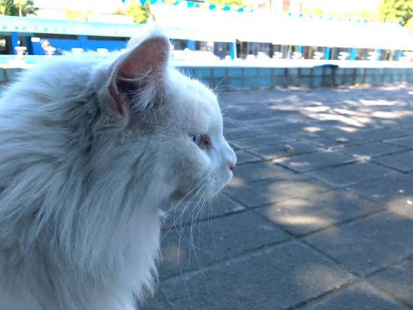 cezar cat