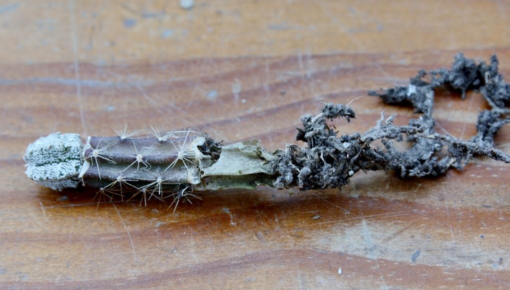 Siembra y Cultivo de Cactáceas: Injertos de cactáceas