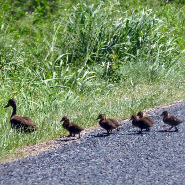 Enten, Entenfamilien, Küken, Ostküste Australien