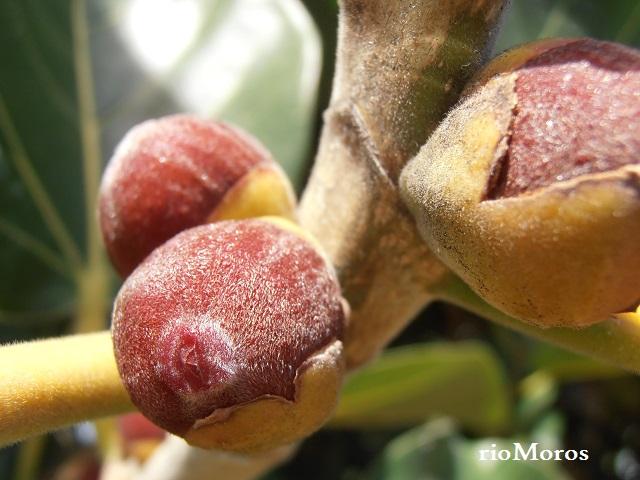 Fruto de Higuera de Bengala Ficus benghalensis