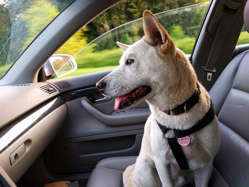 cão sentado dentro de um carro