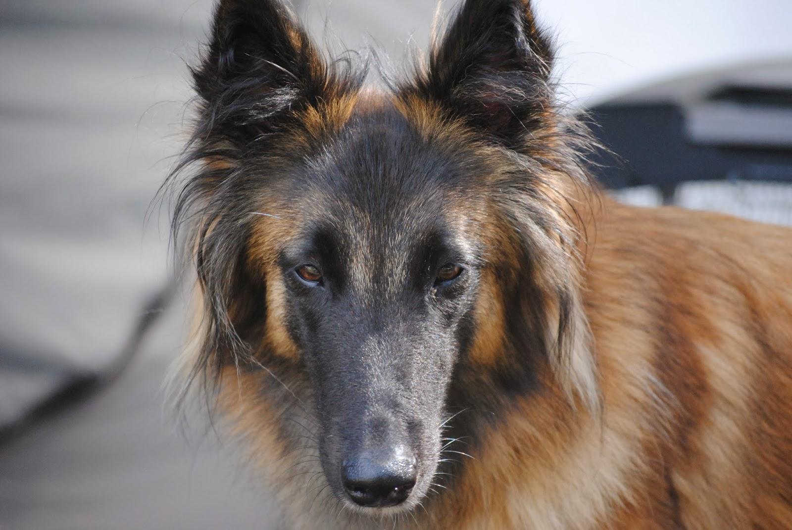 gestresster hund homöopathie