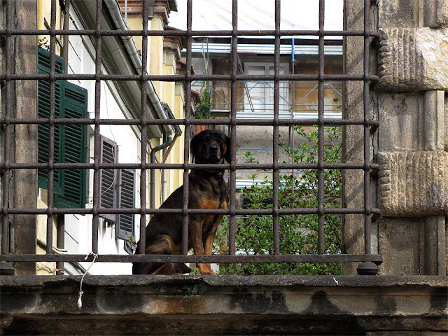 Dog behind bars, piazza San Martino, Lucca