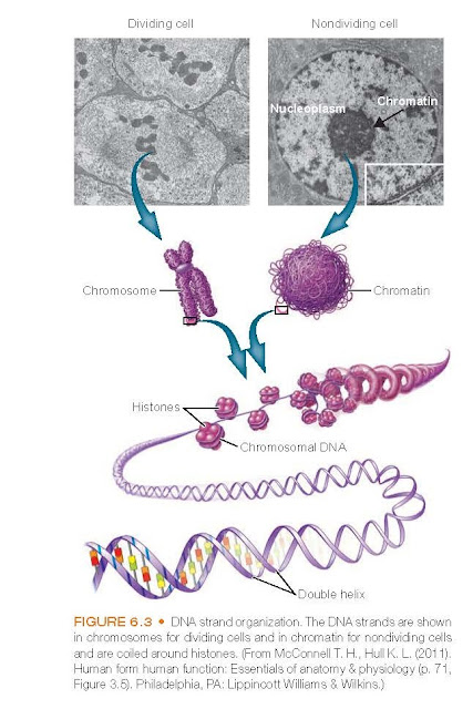 DNA strand organization. The DNA strands are shown in chromosomes for dividing cells and in chromatin for nondividing cells and are coiled around histones.