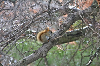 red squirrel on oak branch
