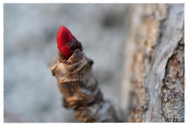 bouton de vigne rouge