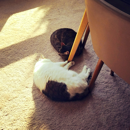 image of Olivia the White Farm Cat and Sophie the Torbie Cat curled up for a nap near a spot of sunshine on the dining room floor